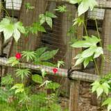 紅葉葉縷紅草(モミジバルコウソウ)
