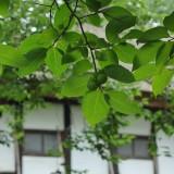 武相荘の柿の実