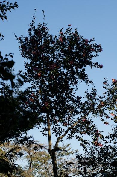 高木の山茶花