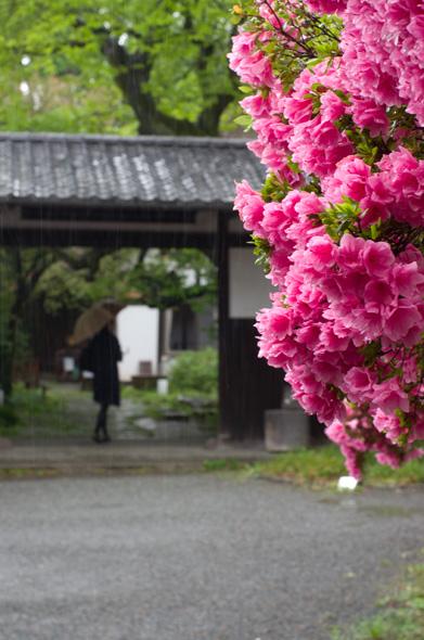 雨_ツツジ_正門