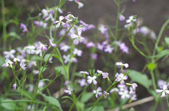 武相荘 大根の花