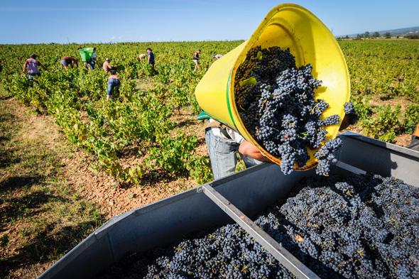 手摘みで収穫されるボージョレーの葡萄