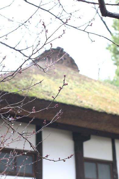 紅梅の蕾 武相荘